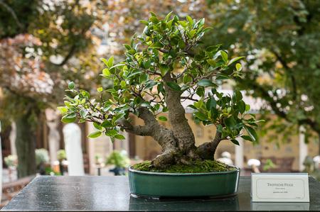 Feigenbaum als Bonsai