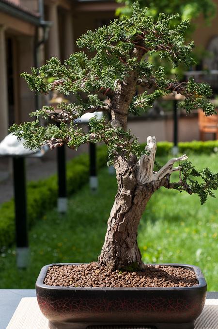 Scheinzypresse mit Totholz als Bonsai