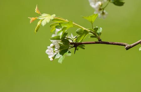 Nahaufnahme Blüte Weißdorn