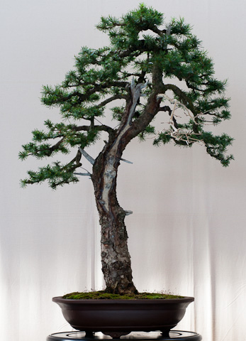 larix decidua europ ische l rche als bonsai. Black Bedroom Furniture Sets. Home Design Ideas