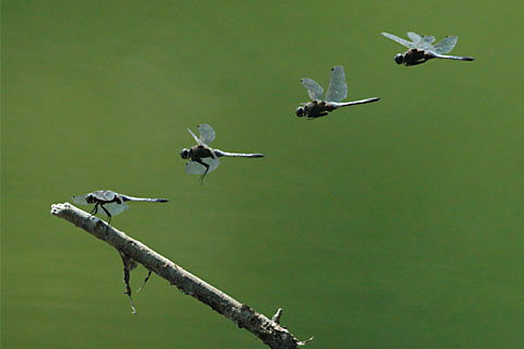 Fluphasen einer Libelle