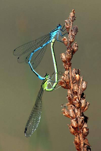 Paarungsrad Libellen