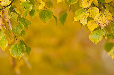 Laub einer Linde im Herbst