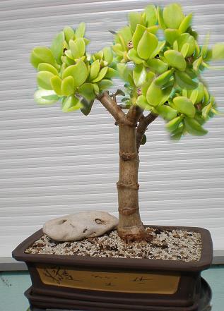 Bonsai Virtual Crassula ovata