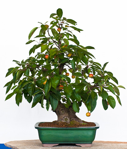 Malus als Bonsai