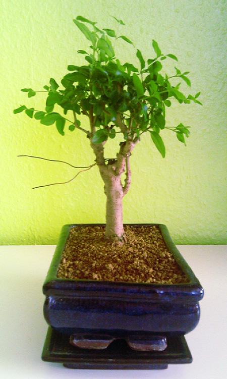 Umgetopfter Liguster-Bonsai #2