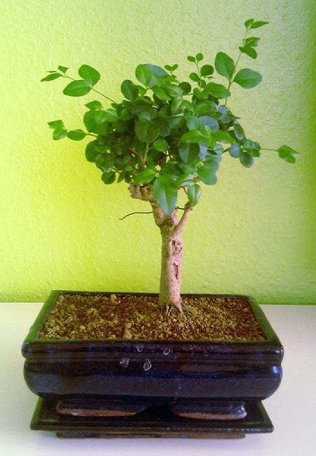 Umgetopfter Liguster-Bonsai #4