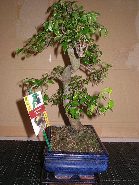 Zelkova serrata von links