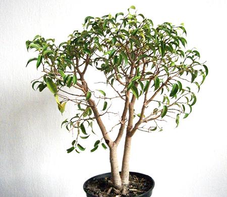 Ficus im März 2012