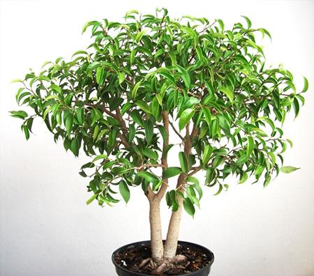 Ficus im Oktober 2011