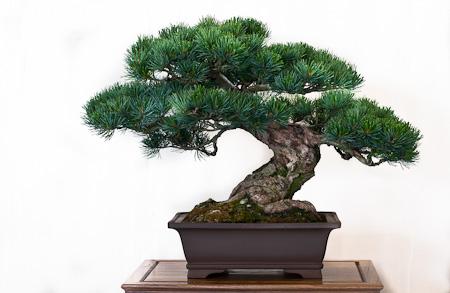 Nadelbaum als Bonsai