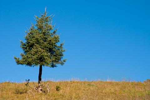 Einzelner Nadelbaum