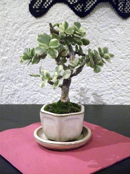 Jadebaum nach dem Kauf