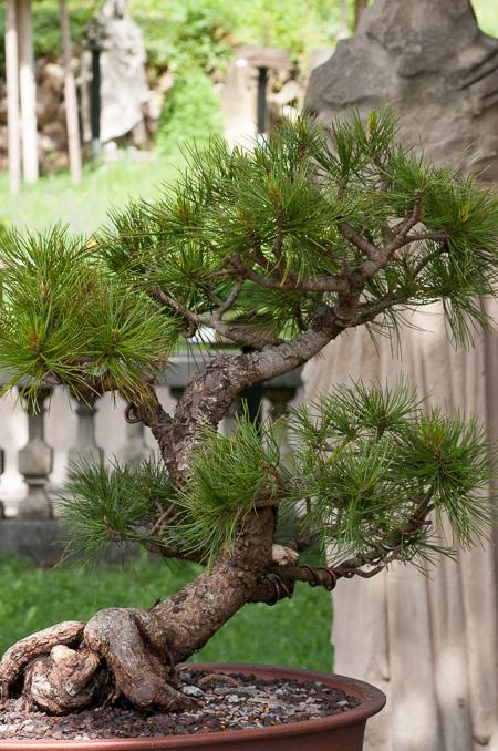 Pinus cembara als Bonsai