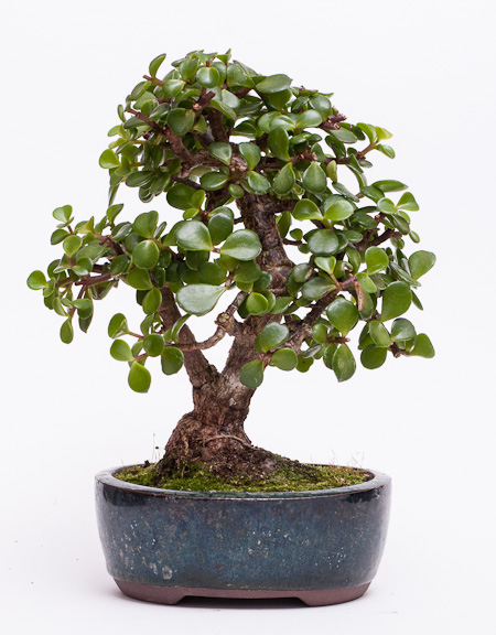 Bonsai jadebaum