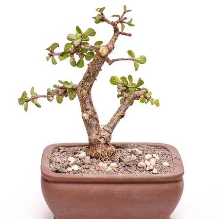 Bonsai-Erstgestaltung Jadebaum