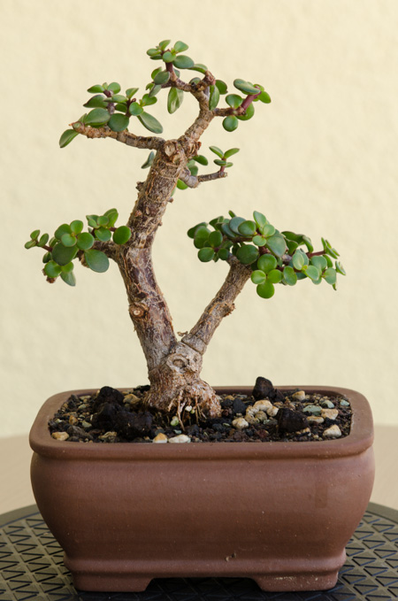 ein jadebaum bonsai portulacaria afra nach ber einem jahr gestaltung. Black Bedroom Furniture Sets. Home Design Ideas