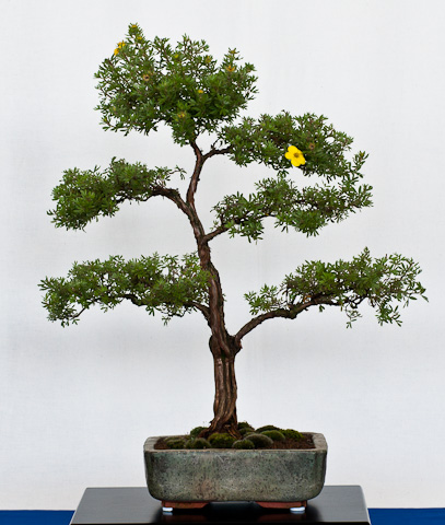 Fingerstrauch als Bonsai