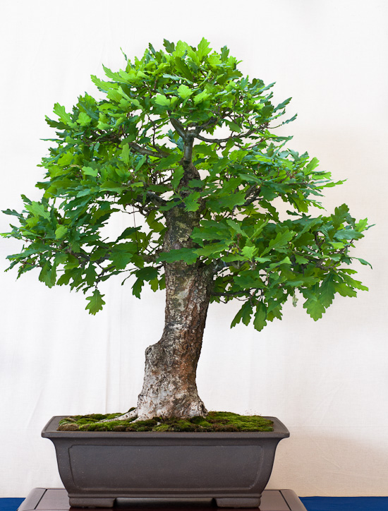 Quercus robur als Bonsai