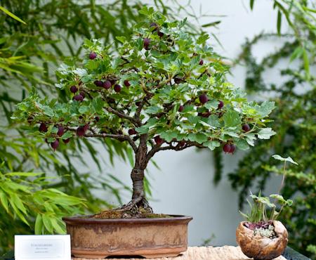Ribes uva-cripsa als Bonsai