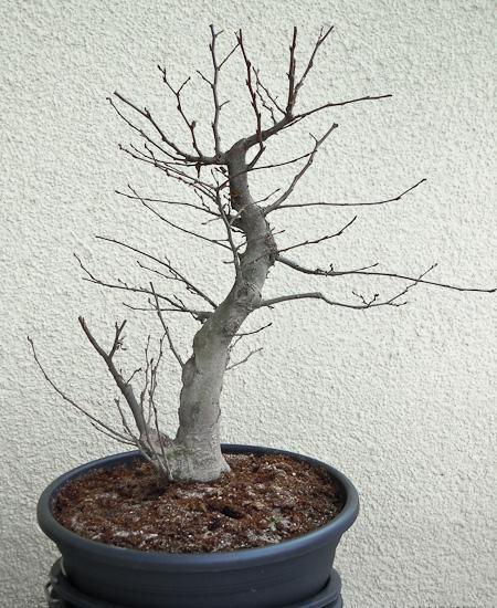 Bonsai-Rohling unbearbeitet