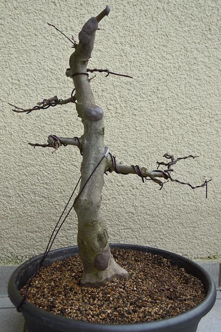 Erstgestaltung Carpinus betulus