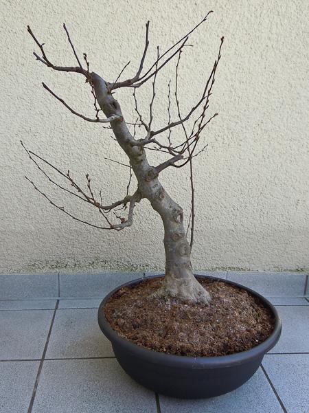 Rohling Carpinus betulus
