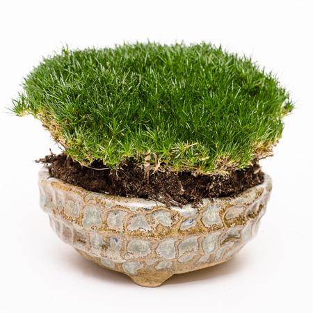 Akzentpflanze - Sagina subulata