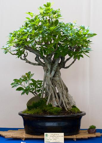 Schefflera auboricola als Bonsai