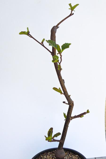 Schwarzerle im April