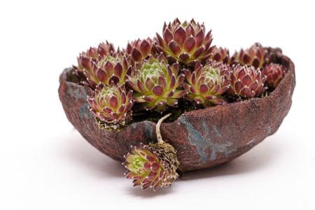 Sempervivum Akzentpflanze