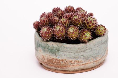 Hauswurz Akzentpflanze
