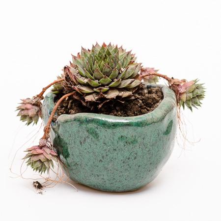 Rot-grünes Sempervivium #2