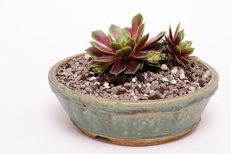 Sempervivum rubidundum orantum Akzentpflanze