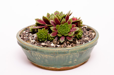 Sempervivum rubicundum ornatum