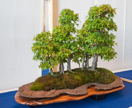 Acer buergerianum Wald