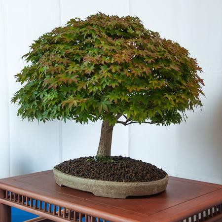 Acer palmatum kashima als Bonsai