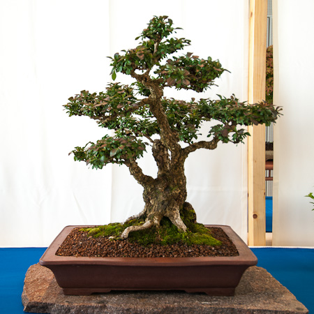 Berberitze als Bonsai