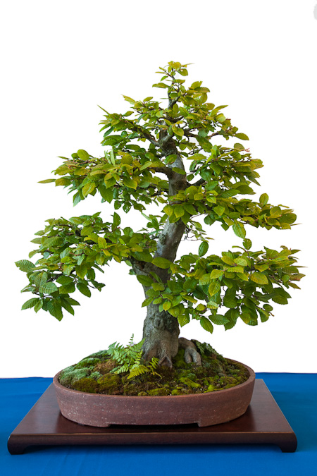 Carpinus betulus als Bonsai