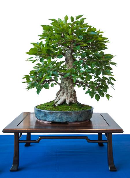 Carpinus turczaninowii als Bonsai