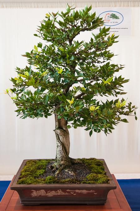 Euonymus europea als Bonsai