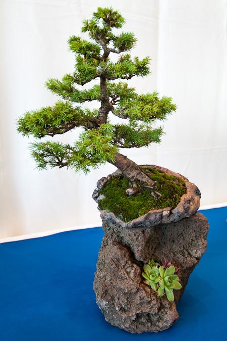 Picea abies als Bonsai