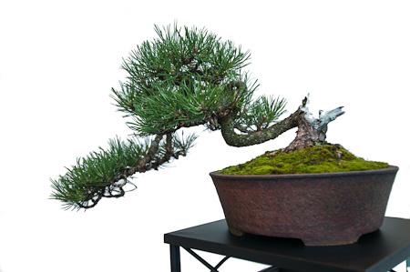 Pinus mugo als Bonsai