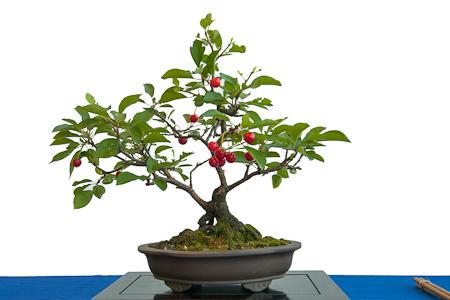 Prunus cerasus als Bonsai
