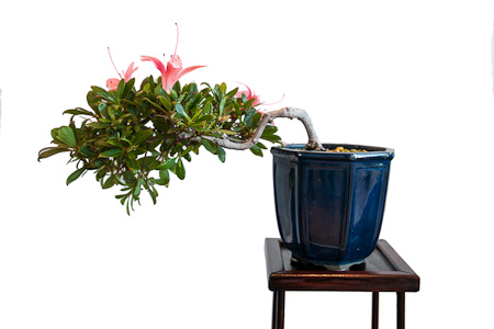 Blühende Rhododendron als Bonsai