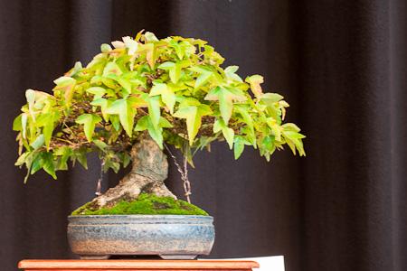 Dreispitzahorn als Shohin-Bonsai
