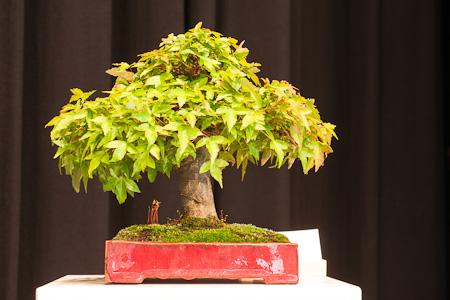 Acer buergerianum als Shohin-Bonsai