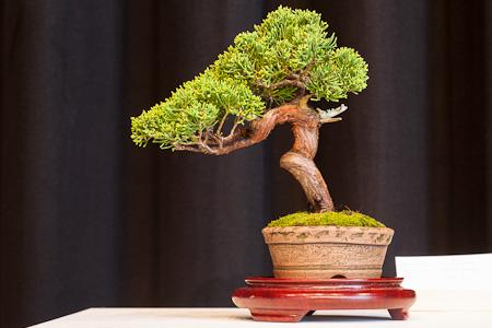 Chinesischer Wacholder als Shohin-Bonsai