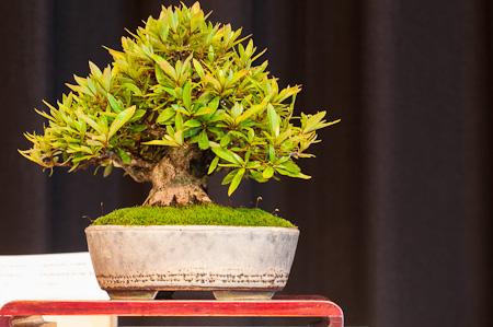 Rhododendron als Shohin-Bonsai