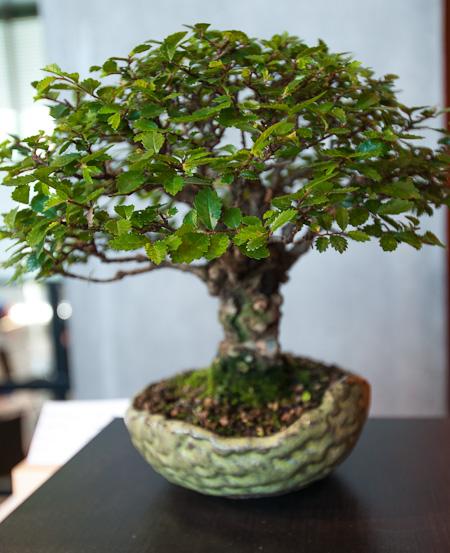 Ulme als Shohin-Bonsai